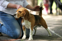 Beagle Dog exhibition moment Royalty Free Stock Photos