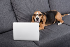 Beagle dog in eyeglasses looking at laptop while lying on sofa Royalty Free Stock Images