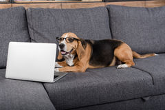 Beagle dog in eyeglasses looking at laptop while lying on sofa Stock Photos