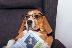 Beagle dog in eyeglasses lying with newspaper Royalty Free Stock Image