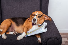 Beagle dog in eyeglasses lying with newspaper Royalty Free Stock Photography
