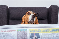 Beagle dog in eyeglasses reading newspaper while sitting on grey armchair stock photos