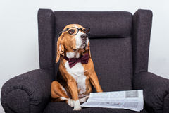 Beagle dog in eyeglasses sitting with newspaper Royalty Free Stock Photos