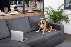 Beagle dog in eyeglasses sitting on sofa with laptop Stock Photos