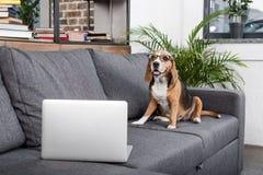 Beagle dog in eyeglasses sitting on sofa with laptop Stock Image