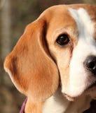 Beagle dog face. Beagle dog looking alert and happy stock photography