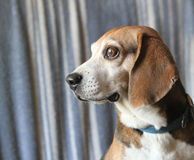 Beagle dog face in profile Stock Photos