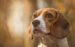 Beagle dog in the forest. Beagle dog portrait in the forest Stock Photography