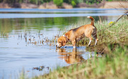 Beagle dog on the forest river coast Royalty Free Stock Photos