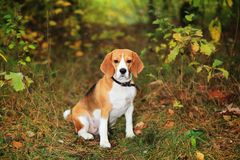 Beagle dog in forest. Waiting for owner. Beagle sits on grass in forest stock images