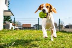 Beagle dog fun in garden outdoors run. And jump with ball towards camera stock photos