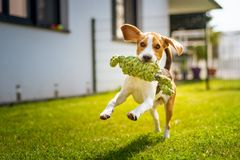 Beagle dog fun in garden outdoors run and jump with knot rope. Towards camera stock photo