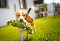 Beagle dog fun in garden outdoors run and jump with knot rope. Towards camera royalty free stock photo