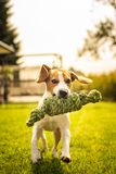 Beagle dog fun in garden outdoors run and jump with knot rope. Towards camera. Sunny summer day stock photography