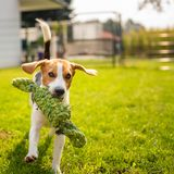 Beagle dog fun in garden outdoors run and jump with knot rope. Towards camera. Sunny summer day royalty free stock images