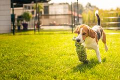 Beagle dog fun in garden outdoors run and jump with knot rope. Towards camera. Sunny summer day stock images