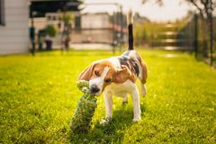 Beagle dog fun in garden outdoors run and jump with knot rope. Towards camera. Sunny summer day royalty free stock photos