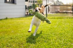 Beagle dog fun in garden outdoors run and jump with knot rope. Towards camera. Sunny summer day stock image