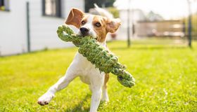 Beagle dog fun in garden outdoors run and jump with knot rope. Towards camera. Sunny summer day royalty free stock photo