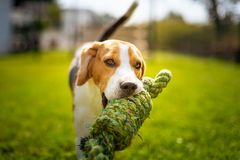 Beagle dog fun in garden outdoors run and jump with knot rope. Towards camera. Sunny summer day royalty free stock image
