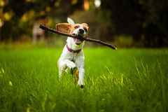 Beagle dog fun on meadow in summer outdoors run and jump with stick in mouth fetching. Towards camera stock photo