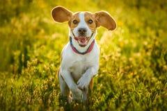 Beagle dog fun on meadow in summer outdoors run and jump. Towards camera royalty free stock photos