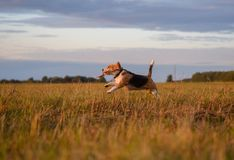 Beagle dog running around and playing with a stick at sunset Stock Images