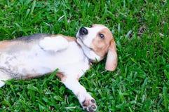 Beagle dog in the garden. Nice beagle dog boy play in the garden Stock Images