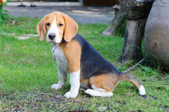 Beagle dog in the garden. Nice beagle dog boy sitting in the garden Royalty Free Stock Photo