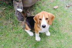 Beagle dog in the garden. Nice beagle dog boy sitting in the garden Stock Photography