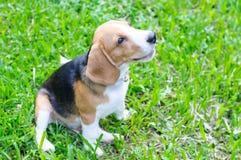 Beagle dog in the garden. Nice beagle dog boy sitting in the garden Stock Image