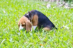Beagle dog in the garden Stock Image