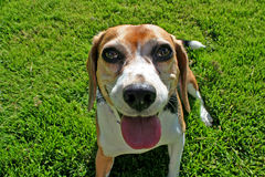 Beagle dog on grass Royalty Free Stock Photography