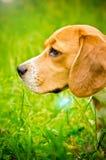 Beagle dog Royalty Free Stock Images