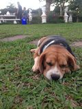 Beagle dog on the green grass Royalty Free Stock Images