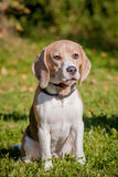 Beagle dog on green meadow Royalty Free Stock Photo