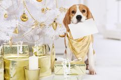 Beagle dog with a greeting card Royalty Free Stock Images