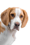 Beagle dog, head. Royalty Free Stock Photo