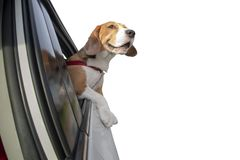 Beagle dog with head and front legs out of car Stock Photo