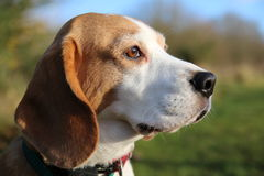 Beagle dog head Royalty Free Stock Photo