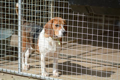 Beagle dog in his kennel in a dog rescue centre. Waiting to be rehomed Stock Images