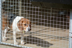 Beagle dog in his kennel in a dog rescue centre Royalty Free Stock Photos