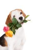 Beagle dog holding a rose Stock Image