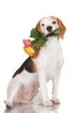 Beagle dog holding a rose Royalty Free Stock Photo