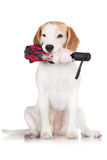 Beagle dog holding an umbrella. In her mouth Royalty Free Stock Photos