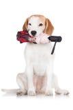 Beagle dog holding an umbrella Royalty Free Stock Photos