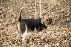 BEAGLE DOG ON THE HUNT LOOKS BACK. A beagle dog on the hunt in the woods with his tail pointed up looks back at his owner with a surprised look on his face stock image