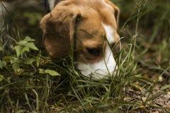 Beagle dog hunter follows the trail stock images