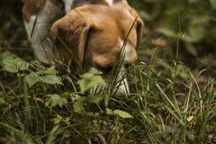 Beagle dog hunter follows the trail royalty free stock image