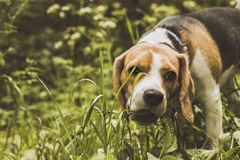 Beagle dog hunter follows the trail. The dog took the trail. Beagle puppy hunter stock photos